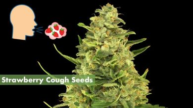 Strawberry-Cough-Seeds